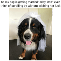 Dogs, Memes, and California: So my dog is getting married today. Don't even  think of scrolling by without wishing her luck Mozel 😭❤️@funpawcare . . 📸 @sebastian.the.berner venice venicebeach la cali california losangeles socal santamonica Malibu beverlyhills pacificpalisades brentwood manhattanbeach marinadelmar culvercity southbay westside westla westwood sawtelle marvista marinadelrey encino vannuys shermanoaks bernesemountaindogs bernesemountaindog dog dogs puppy