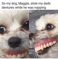 Lol, Memes, and 🤖: So my dog, Maggie, stole my dads  dentures while he was napping lol 😂
