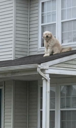 so my neighbors do this thing where they leave the window open every morning so their dog can sit on the roof and people watch.: so my neighbors do this thing where they leave the window open every morning so their dog can sit on the roof and people watch.