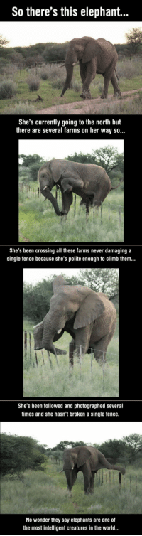 <p>Elephants Are The Most Intelligent Creatures In The World.</p>: So there's this elephant...  She's currently going to the north but  there are several farms on her way so...  She's been crossing all these farms never damaging a  single fence because she's polite enough to climb them...  She's been followed and photographed several  times and she hasn't broken a single fence.  No wonder they say elephants are one of  the most intelligent creatures in the world. <p>Elephants Are The Most Intelligent Creatures In The World.</p>