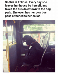 Doge knows how to adult. (@doggocatcat) | Follow @aranjevi for more!: So this is Eclipse. Every day she  leaves her house by herself, and  takes the bus downtown to the dog  park. She even has her own bus  pass attached to her collar.  OR  XIT Doge knows how to adult. (@doggocatcat) | Follow @aranjevi for more!