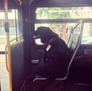So this is Eclipse. Every day she leaves her house by herself, and takes the bus downtown to the dog park. She even has her own bus pass attached to her collar.: So this is Eclipse. Every day she leaves her house by herself, and takes the bus downtown to the dog park. She even has her own bus pass attached to her collar.