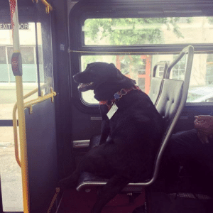 So this is Eclipse. Every day she leaves her house by herself, and takes the bus downtown to the dog park. She even has her own bus pass attached to her collar. (via): So this is Eclipse. Every day she leaves her house by herself, and takes the bus downtown to the dog park. She even has her own bus pass attached to her collar. (via)