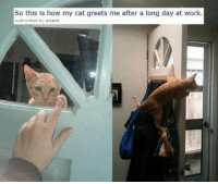 Long Cat: So this is how my cat greets me after a long day at work  submitted by ocient