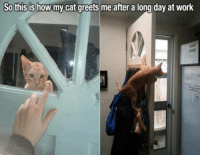 Long Cat: So this is how my cat greets me after a long day at work