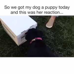 Animals, Cute, and Dogs: So we got my dog a puppy today  and this was her reaction.. Best Unboxing Ever! ❤️#dogs #doglovers #puppy #puppies #cute #funny #cutedogs #funnydogs #animals #animallovers #lovelyanimalsworld