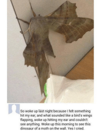 Dinosaur, Memes, and Birds: So woke up last night because I felt something  hit my ear, and what sounded like a bird's wings  flapping, woke up hitting my ear and couldn't  see anything. Woke up this morning to see this  dinosaur of a moth on the wall. Yes I cried.