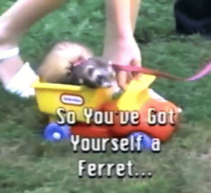 Ferret, Got, and Yourself: So You've Got  Yourself a  Ferret...