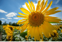 Target, Tumblr, and Blog: socialfoto:  Bright yellow sunflower field with deep blue sky and fluffy clou by Fotografiecor #SocialFoto