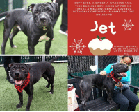 "Being Alone, Best Friend, and Bones: SOFT EYES, A SWEETLY WAGGING TAIL.  THIS DARLING BOY, GIVEN UP FOR NC  TIME IS A MELLOW. GENTLE, LOVEBUC  WITH ONLY ONE WISH A HOME FOR THE  HOLIDAYS!  Jet  ID 47825. 2 YRS  45 LBS. OF CUDDLES  AT THE BROOKLYN  ACC  RTU *** TO BE KILLED - 12/11/18 ***  Don't give away his secret! JET is a mushy, belly rub loving, LOVEBUG!  Given up for ""no time"" Jet has been though some changes that have rocked his world. First he was given away by his first parent to a friend, and then after only a month, they sent him to the shelter. He was relinquished with his best friend Canelo, who has since been saved, so now Jet is truly alone in the world. Shy, sweet, mellow, and as darling as you can imagine, this poor boy has only one holiday wish. A home of his own and a family to love him. As a smitten volunteer writes: ""I met the delightfully wrinkly-faced Jet yesterday; a staff member was our escort into the pen for some photography and fun. As he studied us and got acquainted, Jet became lively and proved up for anything, communicated with soft eyes and a sweetly wagging tail. In photographing Jet, I had been trying various poses to evoke specific moods, employing treats, balls and squeakies. The staffer had been stroking Jet soothingly along the dog's back and changed things up a bit. Then..oh...my...goodness. Jet melted, completely falling into a trance over belly and chest rubs. It made for a charming photo, revealing something about Jet. Quite by accident, we stumbled upon his happy place, and his secret: Jet is a love bug! Come witness the transformation yourself when you meet Jet at Manhattan's ACC!"" Please let's share Jet to the moon and back. Or if you can save his life, hurry and Private Message our page or email us at MustLoveDogsNYC@gmail.com for assistance fostering or adopting this beyond sweet boy.   A volunteer writes:   I met the delightfully wrinkly-faced Jet yesterday; a staff member was our escort into the pen for some photography and fun. As he studied us and got acquainted, Jet became lively and proved up for anything, communicated with soft eyes and a sweetly wagging tail. In photographing Jet, I had been trying various poses to evoke specific moods, employing treats, balls and squeakies. The staffer had been stroking Jet soothingly along the dog's back and changed things up a bit. Then..oh...my...goodness. Jet melted, completely falling into a trance over belly and chest rubs. It made for a charming photo, revealing something about Jet. Quite by accident, we stumbled upon his happy place, and his secret: Jet is a love bug! Come witness the transformation yourself when you meet Jet at Manhattan's ACC!  JET, ID# 47825, @ 5 Yrs. Old, 45.8 lbs. Manhattan ACC, Medium Mixed Breed, Neutered Male Owner Surrender Reason: No time Shelter Assessment Rating: Adult Only Home Intake Behavior Rating:  I came to the shelter with Canelo ID# 47827, already saved. https://www.facebook.com/mldsavingnycdogs/photos/a.876381765881428/873465992839672/?type=3&theater  INTAKE NOTES – DATE OF INTAKE, 11/21/2018: Upon intake, Jet had a tense body. He approached counselors for treats but was also barking at counselors. He would jump up and put his paws on me. He allowed me to collar him and place him inside of a kennel allowed all handling.  OWNER SURRENDER NOTES – BASIC INFORMATION: Jet is a 5 year old male neutered black large mixed breed dog. Previous owner had Jet for 4 months after getting him from a relative. Jet was surrendered to ACC because the owner no longer has time for him. Jet previously lived with 2 adults and 1 dog (Canelo, already saved from ACC). Around strangers, Jet is shy and takes time to warm up to people. He may approach you slowly at first but then becomes very friendly when he is comfortable. Jet has not been around children, his behaviour is unknown. Jet lived with a 4 year old male neutered large dog. He was respectful and friendly around this dog. Jet has not been around cats, his behaviour is unknown. Jet is not bothered if his food bowls, toys or treats are touched while he is eating. He will bark if someone unfamiliar approaches the home or owner. Jet has not bitten another animal or person before. He is housetrained and has a medium energy level - friendly and mellow. Jet has a medical condition – he has sparse fur on his face.   Other Notes: Jet is tolerant of baths but may jump out of the tub. He has not received grooming from his previous owners or nail trimmings. He is not bothered if he is held or restrained  For a New Family to Know: Jet is a Medium energy, friendly, mellow dog. He loves to play with toys like balls and chew bones. He sleeps on the couch or on a dog bed. Jet enjoy's slow walks on leash and is more of a mellow guy. He loves to eat both wet and dry food.  SHELTER ASSESSMENT – DATE OF ASSESSMENT, 11/25/2018:   Look: 1. Dog's eyes are averted, with tail wagging and ears back. Allows head to be held loosely in Assessor's cupped hands.  Sensitivity: 1. Dog stands still and accepts the touch, eyes are averted, and tail is in neutral position with a relaxed body posture. Dog's mouth is likely closed for at least a portion of the assessment item.  Tag: 1. Dog follows at the end of the leash, body soft.  Paw squeeze 1: 1. Dog gently pulls back his/her paw.  Paw squeeze 2: 1. Dog gently pulls back his/her paw.  Flank squeeze 1: Item not conducted  Flank squeeze 2: Item not conducted  Toy: 1. Dog settles close, keeps a firm grip and is loose and wiggly. Dog does not place his/her body between you and the toy.  Summary: Jet approached the assessor with a soft body. He was social throughout the assessment, allowed all handling, and displayed no concerning behaviors.  PLAYGROUP NOTES – DOG TO DOG SUMMARIES: Due to lack of history and offensive behavior displayed during initial interaction, a single dog home is recommended until follow up can be conducted outside of the shelter environment. Utilization of a positive reinforcement based trainer is recommended. History around dogs is unknown. Summary (1): 11/24: When introduced off leash to the female greeter dog, Jet rushes in, muzzle punches, places his paws on her back and freezes.  ENERGY LEVEL: Jet is described as having a medium level of activity. We recommend long-lasting chews, food puzzles, and hide-and-seek games, in additional to physical exercise, to positively direct his energy and enthusiasm.  BEHAVIOR DETERMINATION: ADULT ONLY HOME Recommendations: No children (under 13), Single-pet home, Recommend no dog parks.  Recommendations comments: No children: Due to a potentially low threshold for arousal that Jet displayed at the care center, we recommend an adult only home. Single pet home/no dog parks: See DOG DOG INTERACTION ASSESSMENT.   Potential challenges: On-leash reactivity/barrier frustration, Low threshold for arousal.  Potential challenges comments: On-leash reactivity/barrier frustration: At the care center, Jet has been observed to react to other dogs when behind a barrier, lunging towards them, barking and growling. Jet may need positive reinforcement, reward based training to teach him to look at you rather than other dogs. We recommend a front clip harness or head halter to help manage this behavior. Low threshold for arousal: When Jet was barking at a dog through the fence, he then turned and jumped on a person who was behind him, displaying a potential for redirection or a low threshold for arousal. Guidance from a professional trainer/behaviorist is recommended to assess behavior after decompression in a new home environment.  MEDICAL EXAM NOTES  25-Nov-2018 DVM Intake Exam. Estimated age: 5. Microchip noted on Intake? N. Microchip Number (If Applicable): n/a. History : owner surrender. Subjective: BARH. Observed Behavior allowed for full PE. Evidence of Cruelty seen -n. Evidence of Trauma seen -n. Objective: T = -, P = wnl, R = wnl, BCS = 5/9. EENT: blepharospasm, epiphora, eye-lids involuting inwards, ears clean, no nasal or ocular discharge noted. Oral Exam: moderate calculus on canines, and premolars PLN: No enlargements noted. H/L: NSR, NMA, CRT < 2, Lungs clear, eupnic. ABD: Non painful, no masses palpated. U/G: neutered male. MSI: Hypotrichosis on the face and forehead, Ambulatory x 4, skin free of parasites, no masses noted, healthy hair coat. CNS: Mentation appropriate - no signs of neurologic abnormalities Rectal: externally normal.  Assessment: - Symmetrical Hypotrichosis of the forehead and muzzle - rule out breed pre-predilection (shar-pei) vs other; - Mild to moderate entropian,  - Calculus on pre molars and molars.  Adopters: Recommend a dental cleaning or regular feeding dental treats/food  Recommend an Ophthalmic examination  * TO FOSTER OR ADOPT *   HOW TO RESERVE A ""TO BE KILLED"" DOG ONLINE (only for those who can get to the shelter IN PERSON to complete the adoption process, and only for the dogs on the list NOT marked New Hope Rescue Only). Follow our Step by Step directions below!   PLEASE NOTE – YOU MUST USE A PC OR TABLET – PHONE RESERVES WILL NOT WORK! *  STEP 1: CLICK ON THIS RESERVE LINK: https://newhope.shelterbuddy.com/Animal/List  Step 2: Go to the red menu button on the top right corner, click register and fill in your info.   Step 3: Go to your email and verify account  \ Step 4: Go back to the website, click the menu button and view available dogs   Step 5: Scroll to the animal you are interested and click reserve   STEP 6 ( MOST IMPORTANT STEP ): GO TO THE MENU AGAIN AND VIEW YOUR CART. THE ANIMAL SHOULD NOW BE IN YOUR CART!  Step 7: Fill in your credit card info and complete transaction   HOW TO FOSTER OR ADOPT IF YOU CANNOT GET TO THE SHELTER IN PERSON, OR IF THE DOG IS NEW HOPE RESCUE ONLY!   You must live within 3 – 4 hours of NY, NJ, PA, CT, RI, DE, MD, MA, NH, VT, ME or Norther VA.   Please PM our page for assistance. You will need to fill out applications with a New Hope Rescue Partner to foster or adopt a dog on the To Be Killed list, including those labelled Rescue Only. Hurry please, time is short, and the Rescues need time to process the applications."