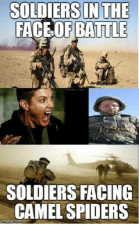 Funny Spider Pictures: SOLDIERS IN THE  FACE OF BATTLE  SOLDIERS FACING  CAMEL SPIDERS  rngflip-come
