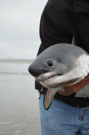 "Animals, Confused, and Tumblr: somarysueme: ayellowbirds:  ungramon:  This is what a baby great white shark looks like.   It's actually a baby salmon shark, seen here being carefully rescued from having beached itself, because it is an oceanic danger puppy and like most wild animals, will bite if confused/scared. (source here)  ""Aww gee wiz fellas"" - this shark, probably?"