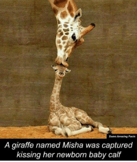 Memes, Giraffe, and 🤖: Some Amazing Facts  A giraffe named Misha was captured  kissing her newborn baby calf