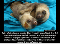 Sloth: Some Amazing Facts  Baby sloths love to cuddle. They typically spend their first 3-6  months hanging on to their mothers and make squeaking  noises if they get separated. At animal sanctuaries, if an  orphaned baby sloth doesn't have a teddy bear or cuddle  buddy, it may refuse to eat.