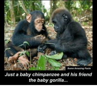 baby gorilla: Some Amazing Facts  Just a baby chimpanzee and his friend  the baby gorilla...