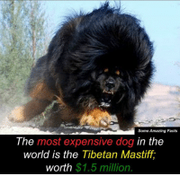 Memes, 🤖, and Tibetan Mastiff: Some Amazing Facts  The most expensive dog in the  world is the Tibetan Mastiff,  $1.5 million  worth