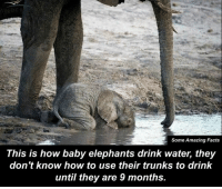 Well this is the cutest thing Ive ever seen 🤗❤️: Some Amazing Facts  This is how baby elephants drink water, they  don't know how to use their trunks to drink  until they are 9 months. Well this is the cutest thing Ive ever seen 🤗❤️