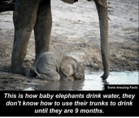 Well this is the cutest thing Ive ever seen 🤗: Some Amazing Facts  This is how baby elephants drink water, they  don't know how to use their trunks to drink  until they are 9 months. Well this is the cutest thing Ive ever seen 🤗