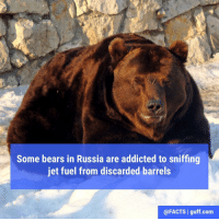 The Kronotsky Nature Preserve in Russia is home to more than 700 brown bears. Igor Shpilenok is a nature photographer who witnessed some bears sniffing barrels of jet fuel during his seven-month stint at the nature preserve. He said some of the bears even stalked helicopters in an attempt to sniff any fuel that dripped from their tanks.: Some bears in Russia are addicted to sniffing  jet fuel from discarded barrels  @FACTS I guff com The Kronotsky Nature Preserve in Russia is home to more than 700 brown bears. Igor Shpilenok is a nature photographer who witnessed some bears sniffing barrels of jet fuel during his seven-month stint at the nature preserve. He said some of the bears even stalked helicopters in an attempt to sniff any fuel that dripped from their tanks.