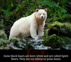 Animals, Bears, and Black: Some black bears are born white and are called Spirit  Bears. They are not albino or polar bears. Any more spirit animals?