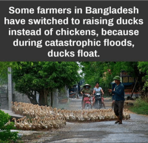 No room for chickenssorry: Some farmers in Bangladesh  have switched to raising ducks  instead of chickens, because  during catastrophic floods,  ducks float.  re No room for chickenssorry