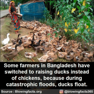 Floods: Some farmers in Bangladesh have  switched to raising ducks instead  of chickens, because during  catastrophic floods, ducks float.  Source: Blowingfacts.org  O @blowingfacts365