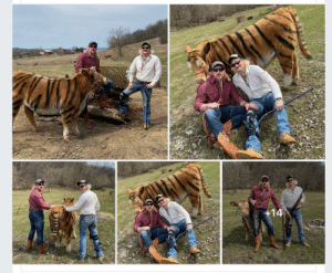 Some local boys painted a cow and did a tiger king photo shoot: Some local boys painted a cow and did a tiger king photo shoot