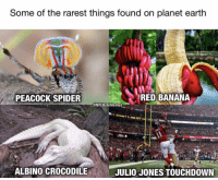 Spider, Banana, and Peacock: Some of the rarest things found on planet eartlh  PEACOCK SPIDER  RED BANANA  @NFLHateMemes  ALBINO CROCODILE  JULIO JONES TOUCHDOWN Whoa! 🤣🤣🤣🤣🤣 https://t.co/KDzyzb5cYe