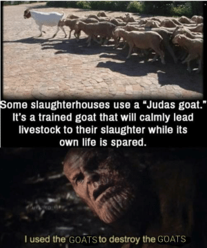 "He just trying to survive: Some slaughterhouses use a ""Judas goat.""  It's a trained goat that will calmly lead  livestock to their slaughter while its  own life is spared.  I used the GOATS to destroy the GOATS He just trying to survive"