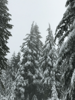 Some snowy trees I saw while skiing a few months ago: Some snowy trees I saw while skiing a few months ago