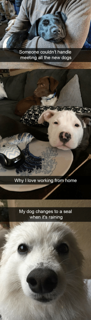 Dog snapsvia @animalsnaps: Someone couldn't handle  meeting all the new dogs   Why I love working from home   My dog changes to a seal  when it's raining Dog snapsvia @animalsnaps