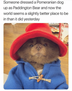 Bear, Pomeranian, and World: Someone dressed a Pomeranian dog  up as Paddington Bear and now the  world seems a slightly better place to be  in than it did yesterday  PURE