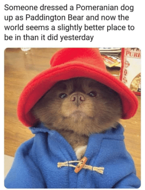 One to make your day better.: Someone dressed a Pomeranian dog  up as Paddington Bear and now the  world seems a slightly better place to  be in than it did yesterday  PURE One to make your day better.