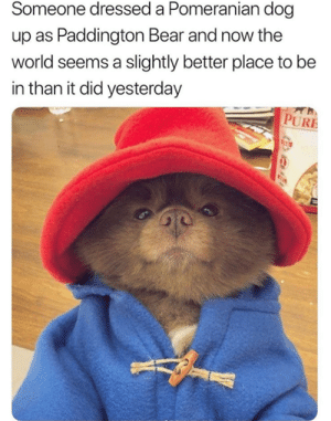 Dank, Love, and Bear: Someone dressed a Pomeranian dog  up as Paddington Bear and now the  world seems a slightly better place to be  in than it did yesterday  Th  PURE I love it