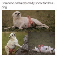 Funny, Dog, and For: Someone had a maternity shoot for their  dog Incredible actually