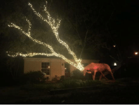 Someone in my neighborhood is making good use of their low hanging oak tree branches this Christmas.: Someone in my neighborhood is making good use of their low hanging oak tree branches this Christmas.