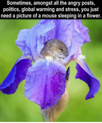 Global Warming, Politics, and Flower: Sometimes, amongst all the angry posts,  politics, global warming and stress, you just  need a picture of a mouse sleeping in a flower. Wholesome mouse