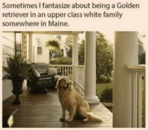 Maine: Sometimes I fantasize about being a Golden  retriever in an upper class white family  somewhere in Maine.