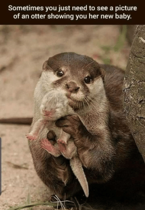 For everyone who are having a bad day right now.: Sometimes you just need to see a picture  of an otter showing you her new baby. For everyone who are having a bad day right now.