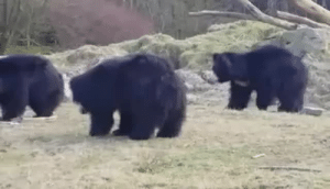 Pop, Saw, and Shit: sorryidontalktocunts: hi-imkingdavid:   bacon-dragon:  batsandothercutethings:  Bears playing with a balloon.  Was bummed out this morning, but then i saw this.  Now i can't stop smiling.   These bears are big as shit How tf did that balloon not pop   When he gets up and waddles after it!!!!!!