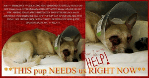 Dogs, Life, and Love: SOS EMERGENCYHOLY CoW, WHAT HAPPENED TO LITTLE3 YR OLD CHI  BOY Tango 57442 2?2? He obviously NEEDS OUT NOW!! Rescue's PLEASE GO GET  HIM-PEOPLE PLEASE APPLY IMMEDIATELY TO FOSTER HIM. He is also IN  ADOPTIONS (mind boggling but true) SO IF YOU CAN GET TO THE SHELTER, DOIT  TODAY. GET HIM THE HECK OUTTATİ ERE!!! HE NEEDS YOU NOW @ THE  MANHATTAN, NY ACC.!!! HELP!!!  ease I oed  THIS pup NEE  DS us RIGHT NOW NYC - Tiny Chi boy HIT BY A CAR !!! HELP !!!! SOS *** EMERGENCY *** HELP LITTLE 3 YR OLD CHI BOY Tango 57442 !!! He obviously NEEDS OUT NOW!!! Rescue's PLEASE GO GET HIM - PEOPLE, PLEASE APPLY IMMEDIATELY TO FOSTER HIM. HE NEEDS YOU RIGHT NOW @ THE MANHATTAN, NY ACC. !!! HELP !!! ✔Pledge✔Tag✔Share✔FOSTER✔ADOPT✔Save his life NOW!  **************************************** APPLY with rescues  OR  message  Must Love Dogs - Saving NYC Dogs for assistance immediately!  ***************************************
