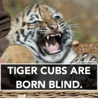 Memes, Vision, and Cubs: SOTheFACTSbible  TIGER CUBS ARE  BORN BLIND The tiger cubs' eyes will open sometime between six to twelve days. However, they do not have their full vision for a couple of weeks 🐯