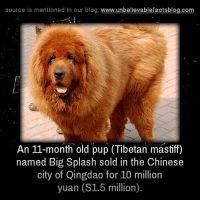 Memes, 🤖, and Big: source is mentioned in our blog  www.unbelievablefactsblog.com  An 11-month old pup (Tibetan mastiff)  named Big Splash sold in the Chinese  city of Qingdao for 10 million  yuan (S1.5 million).