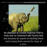 Memes, Blog, and Elephant: source is mentioned in our blog  www.unbelievablefactsblog.com  An elephant at Corbett National Park in  India was so obsessed with lizards that  she became an expert at catching them  and tossing them around for days at  a time.
