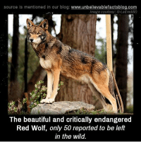 source is mentioned In our blog  www.unbelievablefactsblog.com  Image courtesy: G-Lakreddit)  The beautiful and critically endangered  Red Wolf, only 50 reported to be left  in the wild. So beautiful!