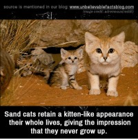 Growing Up, Memes, and Blog: source is mentioned in our blog  www.unbelievablefactsblog.com  Image credit: adremeaux(reddit)  Sand cats retain a kitten-like appearance  their whole lives, giving the impression  that they never grow up.