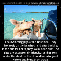 Memes, Shade, and Bahamas: source Is mentioned In our blog  www.unbelievablefactsblog.com  The swimming pigs of the Bahamas. They  live freely on the beaches, and after basking  in the sun for hours, they swim in the surf. The  pigs are exceptionally friendly, running from  under the shade of the almond trees to greet  visitors that bring them treats.