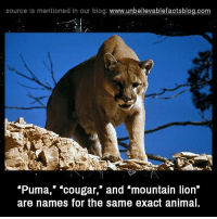 "mountain lion: source Is mentioned in our blog: www.unbelilevablefactsblog.com  ""Puma,"" ""cougar,"" and ""mountain lion""  are names for the same exact anima"