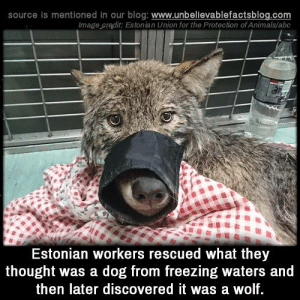 Abc, Animals, and Memes: source Is mentioned in our blog: www.unbellevablefactsblog.co  lmage cradit: Estonian Union for the Protection of Animals/abc  Estonian workers rescued what they  thought was a dog from freezing waters and  then later discovered it was a wolf I'm just as surprised as you are.  —The Wolf 😁