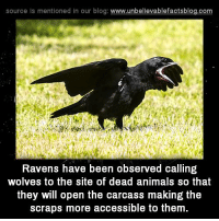 Animals, Memes, and Blog: source Is mentioned in our blog: www.unbellevablefactsblog.co  Ravens have been observed calling  wolves to the site of dead animals so that  they will open the carcass making the  scraps more accessible to them
